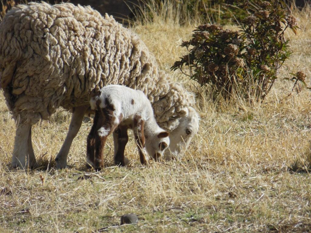 bah bah baby sheep